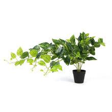 Hanging Plants Scindapsus Aureus G0802PZ001